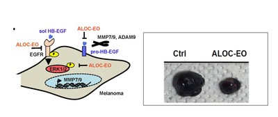 Figure 1. Left- A graphical representation of the signaling pathways blocked by ALOC-EO in melanoma cells. Right- The growth of melanoma cells was suppressed by ALOC-EO treatment when compared to no treatment (ctrl).
